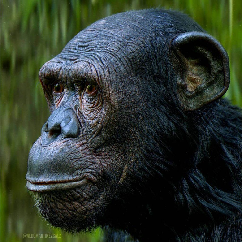 Chimpancé – Aldo Martinez C.
